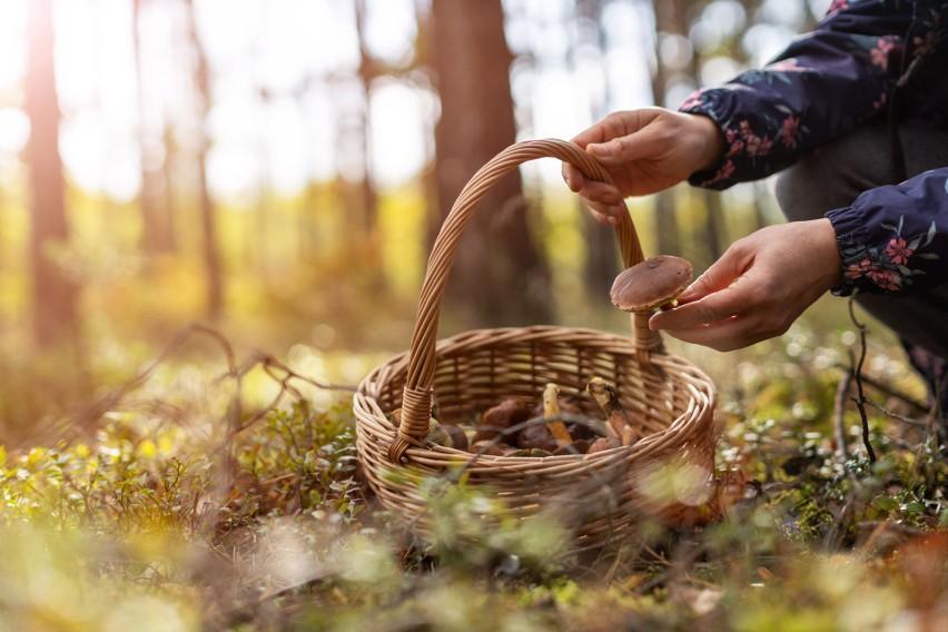 Dekalog grzybiarza. Złote zasady grzybobrania. Jakie są wytyczne GIS? Tego lepiej unikaj w lesie
