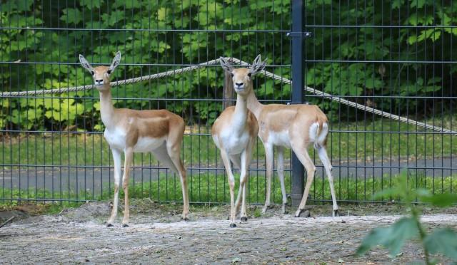 Antylopy indyjskiej - nowi mieszkańcy śląskiego zoo