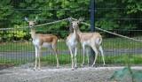 W Śląskim Ogrodzie Zoologicznym zamieszkały antylopy indyjskie. To cztery samice garny, które przyjechały do Chorzowa z Niemiec