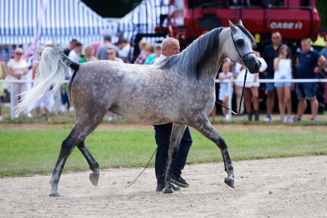 Koń brał udział w mistrzostwach, zdobywał nagrody. Zdjęcie ilustracyjne