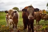 Ceny bydła w kwietniu 2020 spadają. Ile kosztuje żywiec wołowy w skupach w kraju i Kujawsko-Pomorskiem?