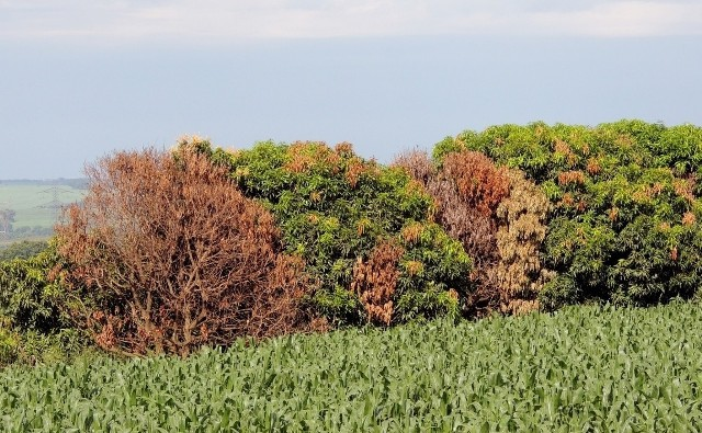 Fytoftoroza to jedna z groźniejszych chorób grzybowych, które atakują rośliny.