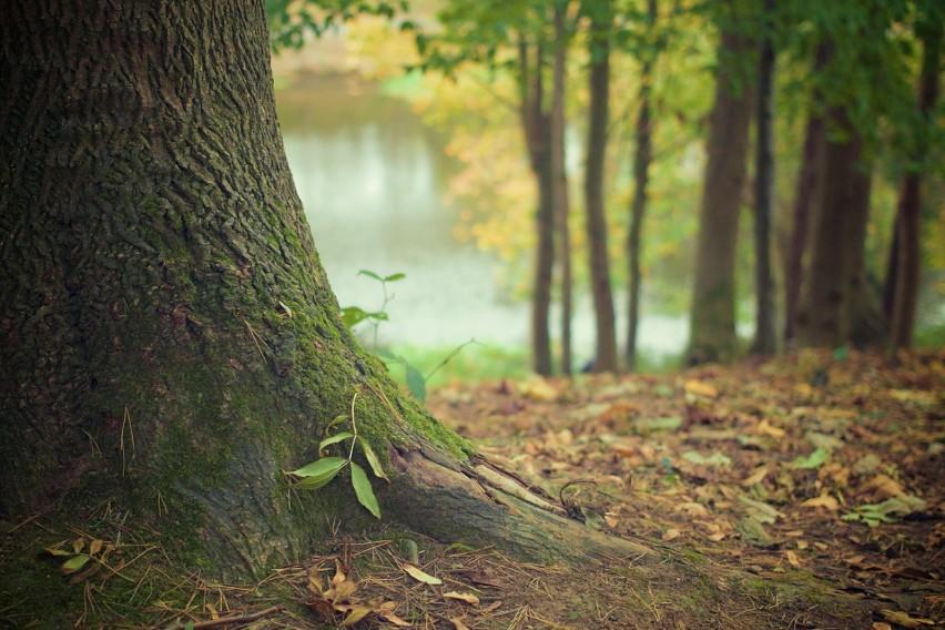 Drzewa porozumiewają się ze sobą...