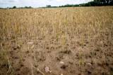 Susza w 2020 roku będzie najgorsza od 100 lat? Wyjątkowo sucha wiosna bez deszczu zapowiada suszę. Pogoda na lato