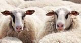 Krzeszowice. Policjanci znaleźli kilkadziesiąt martwych i skrajnie wygłodzonych owiec. Sprawcy odpowiedzą za znęcanie się nad zwierzętami