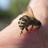 Domowe sposoby na ukąszenia i użądlenia owadów