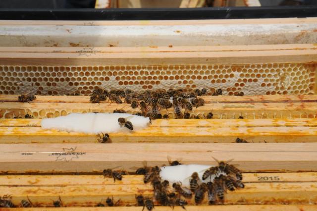 Gdyby zabrakło pszczołowatych musielibyśmy pożegnać się m.in. z jabłkami, malinami, czereśniami, dyniami i porzeczkami