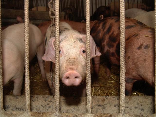Mięso z Ukrainy może być zarażone ASF. Ukraińcy przywożą słoninę zarażoną Afrykańskim Pomorem Świń