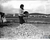 """Wykopki, czyli kartoflane """"żniwa"""" na starych zdjęciach"""