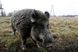 Cmentarz Osobowicki: Przed 1 listopada miasto odstrasza dziki