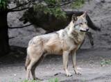 Samorządowcy z Podkarpacia: wilków jest za dużo. Generalna Dyrekcja Ochrony Środowiska: wilki zostaną pod ścisłą ochroną