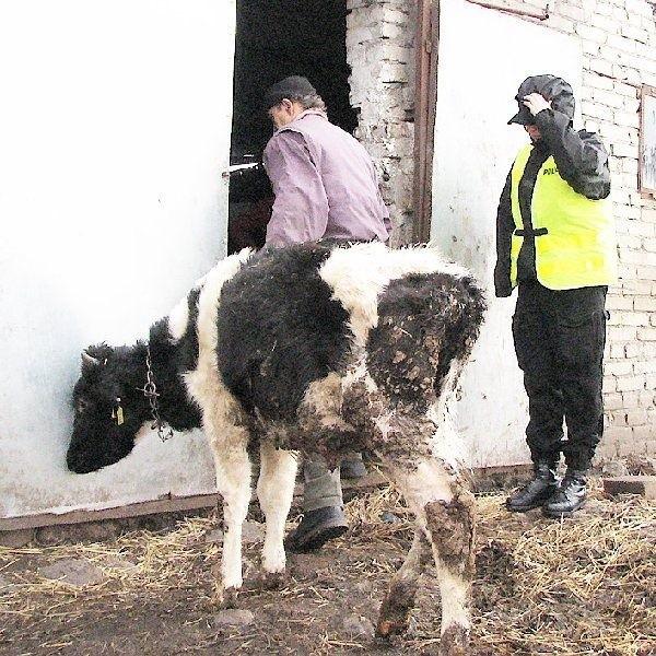 Młody właściciel przyznaje, że w ubiegłym roku  zdechło mu kilka sztuk bydła. Zapewnia, że  trafiły one do utylizacji. Broni się przed atakami,  że krowy są w fatalnym stanie. Tłumaczy, że  finansowo mu się zbyt dobrze nie wiedzie, ale  bydło jeść dostaje.