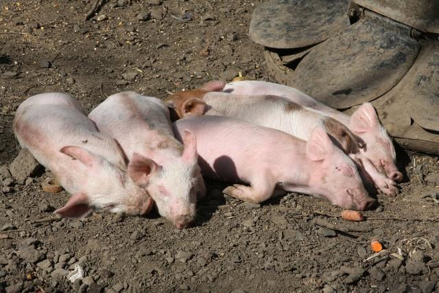 Wojewoda informuje, że 1 sierpnia w godzinach popołudniowych, potwierdzono wystąpienie ogniska afrykańskiego pomoru świń w gospodarstwie, w którym utrzymywane było 19 sztuk trzody chlewnej w różnym wieku. Badanie laboratoryjne próbek pobranych od świń z tego gospodarstwa zostało wykonane w krajowym laboratorium referencyjnym ds. Afrykańskiego pomoru świń w Państwowym Instytucie Weterynaryjnym – Państwowym Instytucie Badawczym w Puławach.CZYTAJ DALEJZOBACZ TEŻ: Wstrząsające pożegnanie. Świnka nie może pogodzić się ze stratą przyjaciela po 13 latach razem