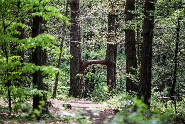 Te wyjątkowe zrośnięte sosny w Chorzowie to wielka leśna osobliwość Zobacz kolejne zdjęcia. Przesuwaj zdjęcia w prawo - naciśnij strzałkę lub przycisk NASTĘPNE