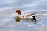 Świstuny, unikalna para kaczek zawitała na kielecki zalew. Skąd się wzięły? [WIDEO, ZDJĘCIA]