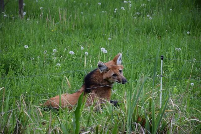 Adopcja, to warto podkreślić, jest honorowa, więc wilk grzywiasty z zoo się nie wyprowadza. Siatkarki będą natomiast partycypowały w kosztach jego utrzymania, finansując wyżywienie. Miesięcznie to wydatek około 250 złotych. Umowa adopcyjna została zawarta na rok.