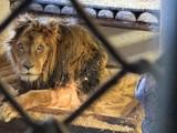 Ostatni z trzech lwów z człuchowskiego Canpolu nie żyje. Trwała walka o jego życie. Lwa Aleksandra niestety nie udało się uratować [zdjęcia]