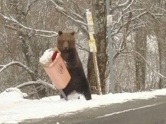 Zwykły kosz nie stanowi dla niedźwiedzia żadnej przeszkody
