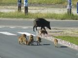 W gminie Wyszki, Orla i Boćki dziki wyrządziły największe szkody. Nie ma pieniędzy na odszkodowania