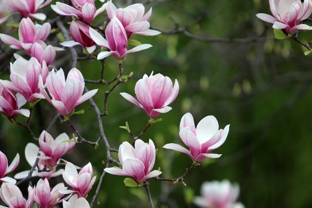 Kupując magnolię, najlepiej wybrać taką, która będzie miała wielkość odpowiednią do naszego ogrodu (magnolie mają mnóstwo odmian). Bo korygowanie wielkości tego drzewa jest kłopotliwe.