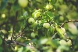 """Powstała nowa, odporna odmiana jabłek. Nadano jej imię """"Chopin"""" i nie wymaga oprysków"""
