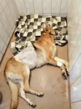 Ranił psa maczetą, przyznał się do winy! Zeznał, co się wydarzyło. Schronisko pokazało makabryczne ZDJĘCIA