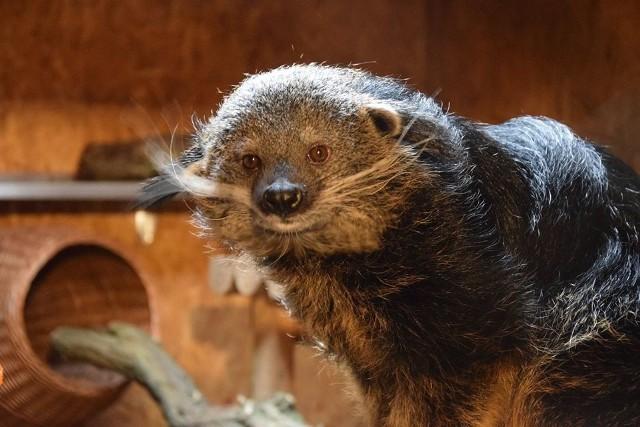 Binturong to gatunek drapieżnego ssaka, zamieszkujący gęste lasy Azji. Do Poznania dwie młode samice przyjechały z berlińskiego zoo.