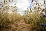 Pomoc suszowa. Rolnicy, których gospodarstwa ucierpiały w wyniku suszy i innych zjawisk atmosferycznych otrzymują wsparcie