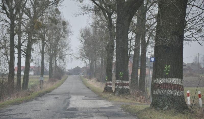Te dęby rosnące przy drodze powiatowej w Kolonii Biskupskiej już zostały ścięte.