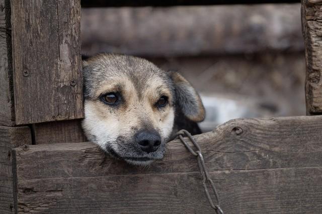 – Części przestępstw przeciwko zwierzętom dopuszczają się osoby nieporadne życiowo i niejednokrotnie nie zdają sobie z tego sprawy – mówi radca prawny dr Michał Rudy, ekspert z Uniwersytetu SWPS, zajmujący się prawną ochroną zwierząt