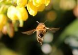 Szerszenie, osy, pszczoły, trzmiele. Które owady mogą być niebezpieczne?