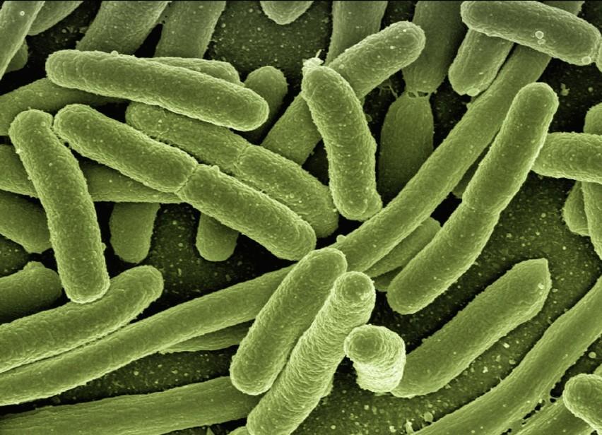 Do bakterii krytycznych dla zdrowia należy pałeczka...