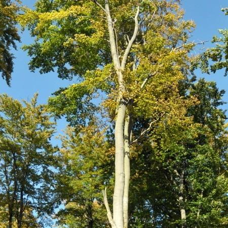 Buczyny Łagowsko-Sulęcińskie leżą na obszarze Natury 2000, tymczasem stare drzewa wciąż idą pod topór. Klub Przyrodników, który złożył do Komisji Europejskiej skargę w tej sprawie jest przekonany, że Unia zablokuje dalszą wycinkę