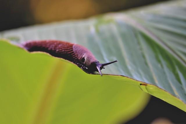 """Ślimaki to jedne z najbardziej uciążliwych stworzeń, jakie mogą opanować nasz ogród. W szczególności ślimaki nagie (bezskorupowe), bo wiele ich gatunków jest w Polsce obcych i nie mają naturalnych wrogów. Nieco inaczej wygląda sprawa ze ślimakami, które mają skorupki – są one mniej groźne dla roślin, za to chętnie zjadane przez ptaki i jeże, spełniają też określoną rolę w środowisku. Warto wiedzieć, że wrogiem ślimaków są także niektóre chrząszcze.Niestety jeśli ślimaków jest dużo, trzeba nastawić się na długą walkę. Nie ma jednego """"cudownego"""" sposobu, raczej trzeba sięgać po różne sposoby i metody. Szczególnie ważna jest prewencja i systemowe """"zniechęcenie"""" ślimaków do naszego ogrodu. Oto, jak się pozbyć ślimaków z ogrodu."""