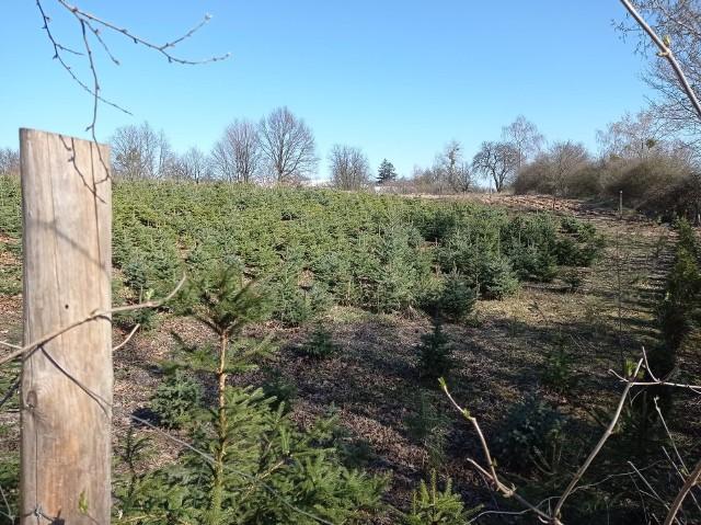 Stawki wsparcia do zalesienia słabych gruntów są wyższe w przypadku drzew lisciastych.