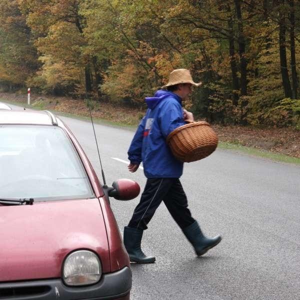 Zbieracze grzybów parkują samochody wzdłuż poboczy. Potem szybko biegną do lasu, nie zwracając uwagi na pędzące samochody.