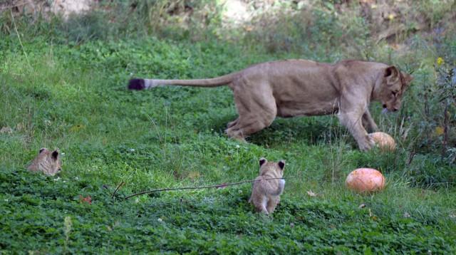 W gdańskim zoo można oglądać 9 lwów