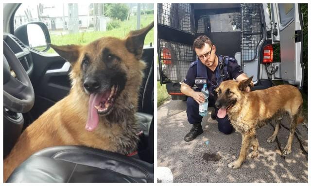 Spragniony pies błąkał się przy S8. Gdy zobaczył policjantów, wskoczył do radiowozu