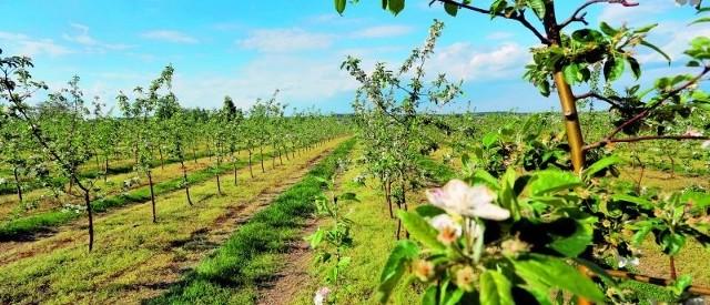Wiosną sad należy lustrować co siedem-dziesięć dni. Dużym zagrożeniem jest parch jabłoni.