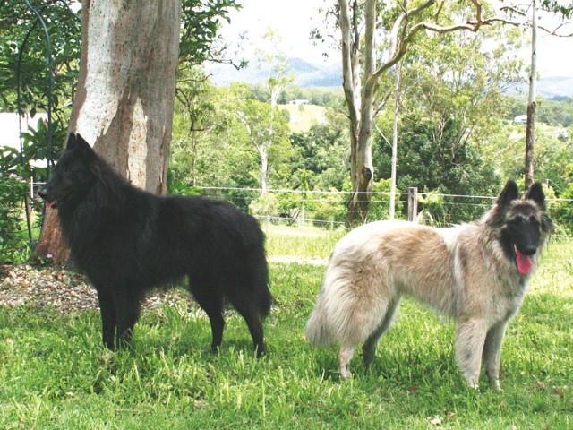 Wyróżnia się kilka odmian owczarków belgijskich. Na zdjęciu groenendael – odmiana długowłosa, maść wyłącznie czarna (po lewej) oraz  tervueren – odmiana długowłosa, maść płowa z czarną maską i czarnym nalotem (po prawej).