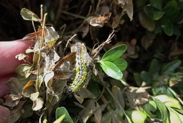 Ćma bukszpanowa atakuje bukszpany w kujawsko-pomorskich ogrodach.
