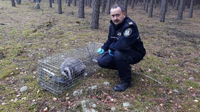 Strażnicy miejscy z Zielonej Góry otrzymują dużo zgłoszeń dotyczących dzikich zwierząt.