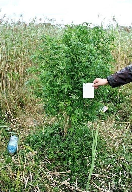 23-latek uprawiał sześć krzaków konopi. Wpadł podczas podlewania roślin, z których powstaje narkotyk
