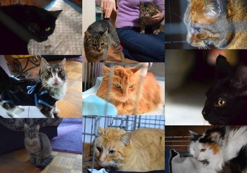 Dzień Kota 2020. Jakie koty można adoptować? Kiedy...