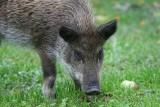 Afrykański pomór świń przesuwa się wgłąb kraju - jest już pod Warszawą