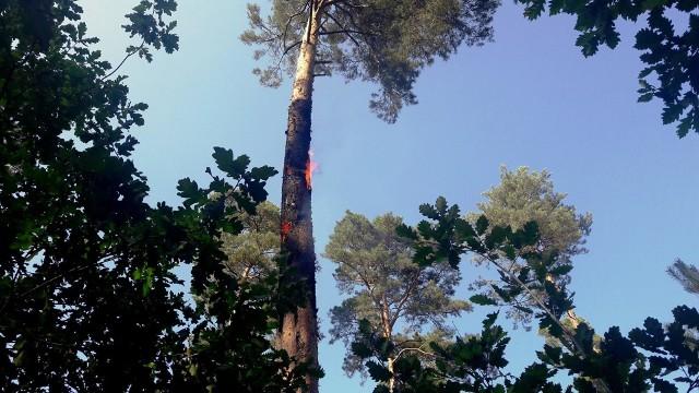 O przedziwnym pożarze informują strażacy z Ochotniczej Straży Pożarnej w Cybince. W sobotę, 18 sierpnia po godzinie 15, zostali oni wezwani do pożaru pojedynczej sosny. Po dojeździe na miejsce oczom strażaków ukazał się nietypowy widok. O tym, że pożar był nietypowy, mówią sami strażacy, którzy gasili płonącą sosnę. W środku lasu płonęło pojedyncze drzewo. Ogień tlił się wewnątrz pnia. Pożar jako pierwsi zauważyli leśnicy z nadleśnictwa w Cybince. Płomienie wydostające się na zewnątrz pnia wspinały się ku górze. Podjęta przez strażaków próba ugaszenia pożaru z powierzchni terenu nie przyniosła oczekiwanego skutku, gdyż pożar schował się skutecznie wewnątrz drzewa. Sosna została więc ścięta i już na ziemi jej pień rozcięty w celu likwidacji wszystkich zarzewi ognia. Wypalone drzewo zostało dokładnie zlane wodą. Strażacy powrócili do swoich jednostek dopiero po całkowitej likwidacji zagrożenia.Nie wiadomo jak doszło do pożaru. Być może doszło do niego z winy człowieka, a może powstał w wyniku uderzenia pioruna. Z płonącą sosną, poza ochotnikami z Cybinki, walczyli też strażacy z OSP Sądów. Zdjęcia i nagranie wideo z akcji publikujemy dzięki uprzejmości strażaków z OSP Cybinka.