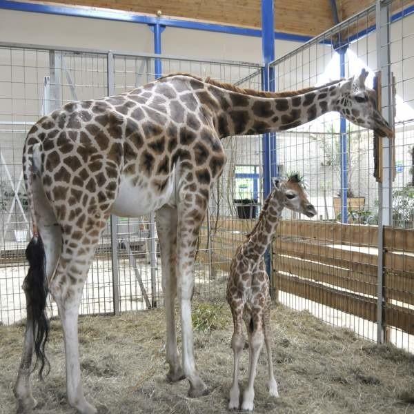 W opolskim zoo przyszla na świat zyrafa.