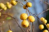 Te dzikie owoce występują jesienią i są idealne na przetwory. Dereń, pigwowiec, rokitnik, kalina. Poznaj ich właściwości