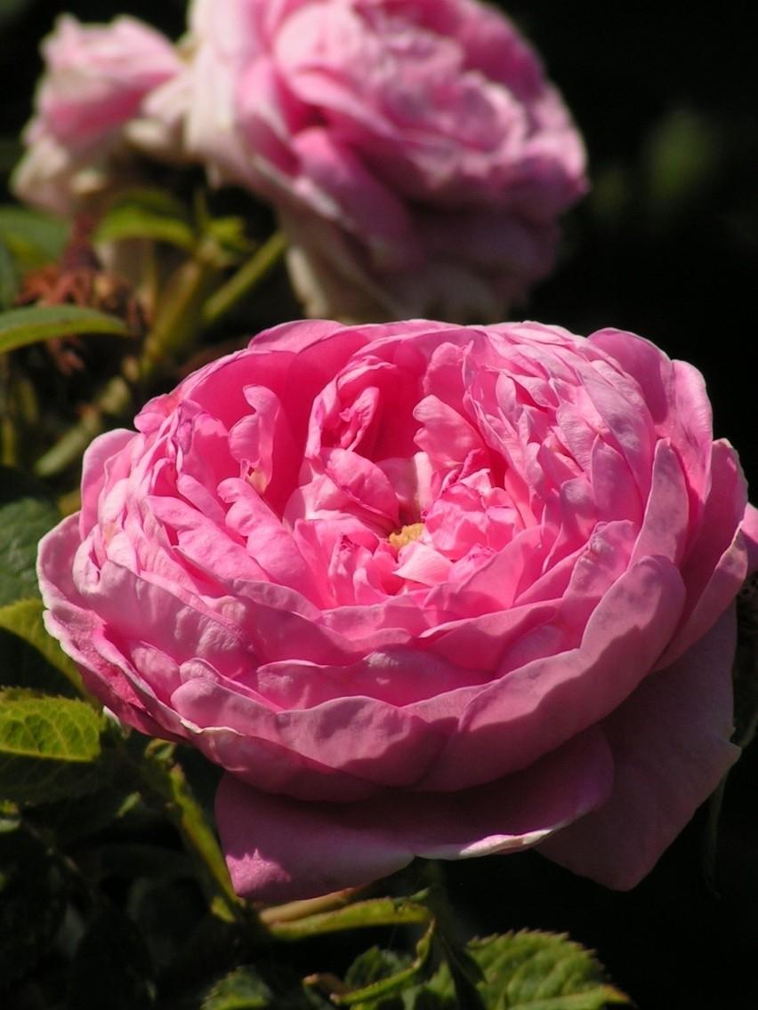 Dronningen Róża Dronningen
