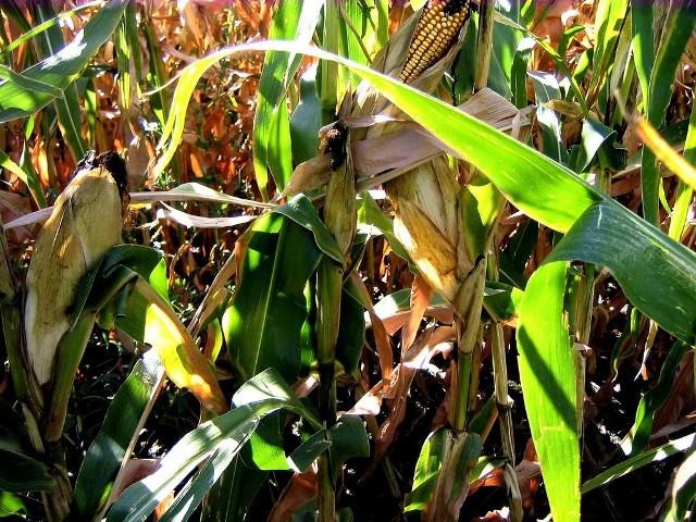 Niewielkie straty u świętokrzyskich rolnikówSzkodnik omacnia prosowianka dotyka przede wszystkim te odmiany roślin, które są hodowane na ziarno. Świętokrzyscy rolnicy wiedzą jednak, jak się przed nim bronic.